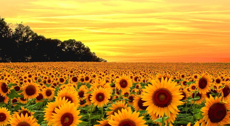 View of a sunflower fields